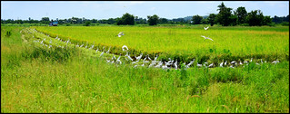 Eastern Great Egret (A. a. modesta), Intermediate (A. intermedia), Little (E. garzetta), & Eastern Cattle (B. coromandus) Egret Masses