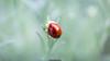 Pois (Nicola Pezzoli) Tags: italy val gandino seriana leffe ceride nature plant flower bokeh canon macro ladybug coccinella bug