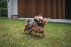 Jerry, my Yorkshire Terrier having some fun (Passi1903) Tags: dog hund dogs fuji fujifilm fujinon f14 lightroom cc classicchrome fun play pet animal tier sun summer sonne wolke clouds garden