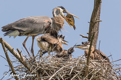 fish for dinner (Anne Marie Fraser) Tags: nest greatblueheron family heron babies nature wildlife fish dinner familydinner greatblueherons heronbabies rookery bird birds
