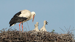 The young storks 2018 (emmily1955) Tags: weisstörche storks explore