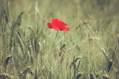 stranger in a strange land (Smo_Q) Tags: poland pentaxk3ii poppies