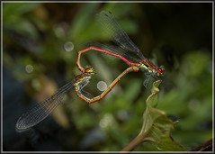 Large Red Damselflies (Ed Phillips 01) Tags: pyrrhosoma nymphula large red damselfly insect pair mating copulating