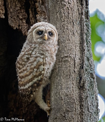 A Barred Owlet, soon to leave the nest, looks out at the world (NorthShoreTina) Tags: barredowl owl owlet raptor