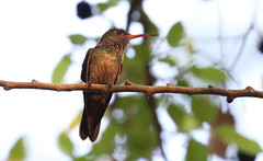 Rufous-tailed Hummingbird (Michael Woodruff) Tags: rufoustailed hummingbird rufoustailedhummingbird amaziliatzacatl amazilia tzacatl