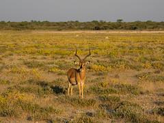 Bathed in evening light (Nanooki ʕ•́ᴥ•̀ʔっ) Tags: africa etoshanationalpark namibia ©suelambertlrpscpagb animals oshikotoregion na blackfacedimpala animal mammal antelope landscape sunlight
