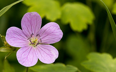 Wild Geranium At Jewell Hollow. (gleavesm) Tags: allnatural macromondays shenandoahnationalpark virginia flower macro wildgeranium luray unitedstates