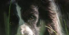An Understanding (JJFET) Tags: border collie dog dogs sheepdog