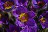 Bergianska II (anderswetterstam) Tags: flowers nature seasons spring floral botanical blue purple springtime growth beginnings fragility freshness