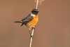 stonechat (leonardo manetti) Tags: uccello bird nature red winter colours naturephotography field natural nikkor countryside green morning black stonechat sunset d850 macro