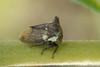 photo-313297.jpg (GeeC) Tags: animalia arthropoda cambodia hemiptera insecta kohkongprovince marshwalkandstreamkayak membracidae membracoidea nature naturetours tatai treehoppers