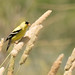DSC_0629.jpg American Goldfinch, Sacramento NWR