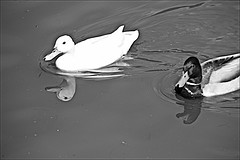 Ducks Monochrome (brianarchie65) Tags: eastpark eastyorkshire kingstonuponhull cityofculture monochrome waterslide water lake ngc steps trees ducks litter rubbish lapollution blackandwhite blackandwhitephotos blackandwhitephoto blackandwhitephotography blackwhite123 unlimitedphotos flickrunofficial flickruk flickr flickrcentral ukflickr canoneos600d geotagged brianarchie65