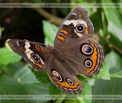 Buckeye Cold Shoulder (ficktionphotography) Tags: bronxzoo buckeye bugs butterfly butterflyhouse insect invertebrates wildlife buckeyebutterfly zoophotography