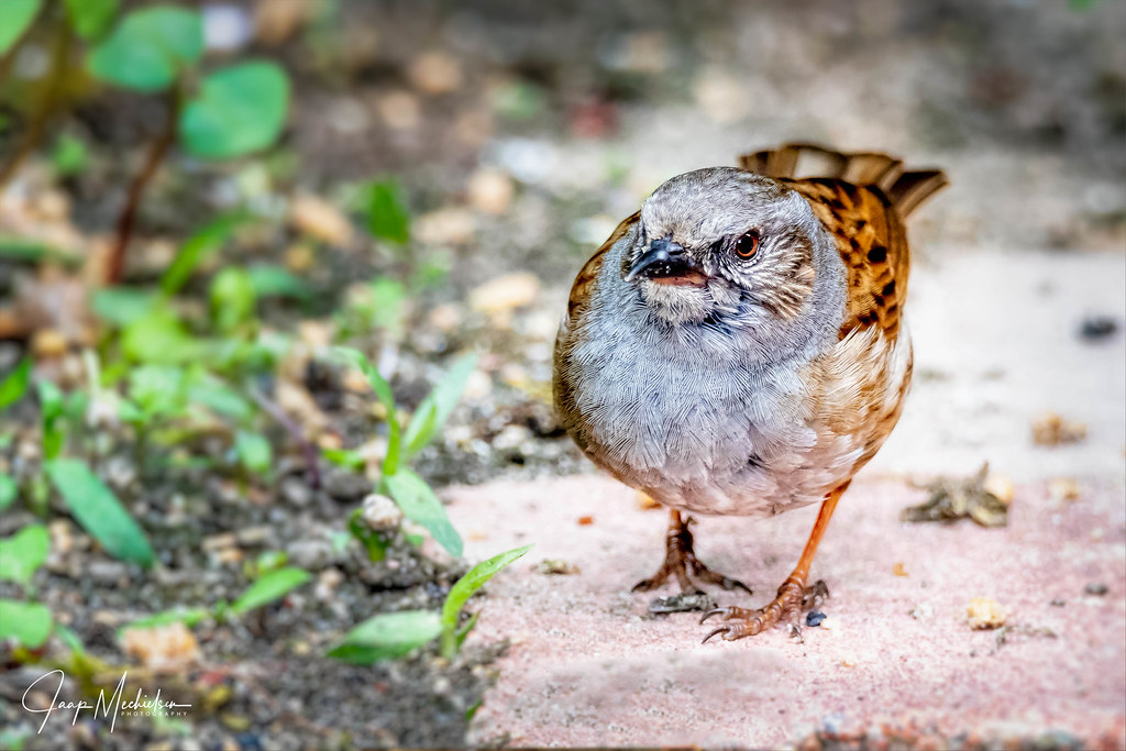 Vogels Nederland Tuin : The world s best photos of tuin and vogel flickr hive mind