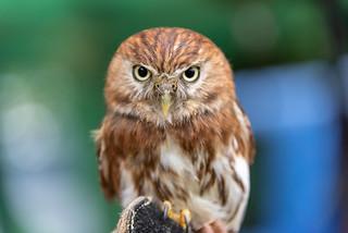 Eurasion Pygmy Owl (Explored)