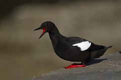 Black Guillemot (Chris B@rlow) Tags: cepphusgrylle guillemot auk auks bird birds blackguillemot oban nature wildlife scotland argyllbute canon7dmarkii sigma150600sport