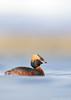 Slavonian grebe (Mike Mckenzie8) Tags: podiceps auritus iceland myvatn spring lake breeding silk silky smooth plumage