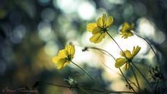 Yellow... (Manu. Thankappan) Tags: flower nikon d5300 35mm f18g india kerala yellow color nature outdoor beautiful bokeh