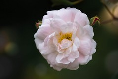 The Softest Pink (martinblack18) Tags: pinkrose rose flower soft softness