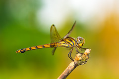 Dragon Fly (Zahidur Rahman (Thanks for the Favs, comments and ) Tags: insect portrait side view color details wings body plant branch dragonfly lovely beautiful beautifulinsect tail stripes bikrampur dhaka bangladesh day afternoon nikon macro