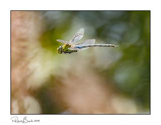 Dragon in the bokeh!  Emperor Dragonfly