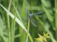 Three's a Crowd (Wildlife Terry) Tags: rspbleightonmoss june2018 common blue damsel flyinginsect wingedwednesday hww