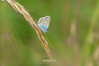 Silver-studded Blue Butterfly ♂