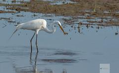 Blackwater National Wildlife Refuge 6/14/18 (AnthonyVanSchoor) Tags: anthonyvanschoor maryland usa great egret