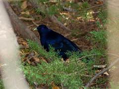 Satin Bower Bird Encounter 1 - Ptilonorhynchus violaceus - Barton - ACT - Australia - 20180611 @ 11:15 to 12:00 (MomentsForZen) Tags: barton australiancapitalterritory australia au momentsforzen mfz hasselblad x1d color bird satinbowerbird ptilonorhynchusviolaceus bower blue male female mating