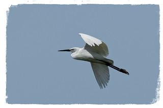 Martinet blanc - Garceta común -  Little egret - Egretta garzetta