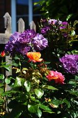 DSC_0165 (PeaTJay) Tags: nikond750 sigma reading lowerearley berkshire macro micro closeups gardens outdoors nature flora fauna plants flowers rose roses rosebuds