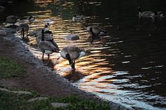 Canada Geese (San Francisco Gal) Tags: goose canadagoose water light maroonlake colorado brantacanadensis canadageese geese chiaroscuro reflection shadow