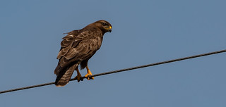 Bird on a wire Part 2 - Buzzard, Mull