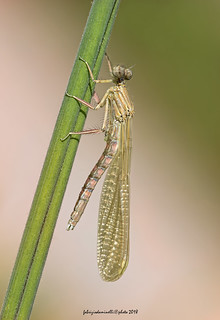 Platycnemis pennipes - Pallas 1771 - male
