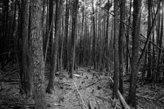 The Forest (Brad_McKay) Tags: ifttt 500px woods birch tree trunk forest pine beech deciduous area black white cut wood dark spooky