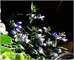 Sol y Sombra (MaxUndFriedel) Tags: garden flower blossom lobelia blue sun shadow