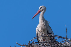 Ciconia ciconia. (Ciminus) Tags: naturesubjects aves ornitologia nature cicognebianche birds afsmicronikkor105mmf28gedvrii ciminodelbufalo whitestork wildlife afsnikkor500mmf4gedvrii ciminus oiseaux nikond500 uccelli ornitology cicognabianca ciconiaciconia coth5