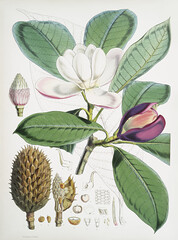 Talauma Hodgsoni (syn. Magnolia Hodgsonii) from Illustrations of Himalayan plants (1855) by W. H. (Walter Hood) Fitch (1817-1892). (Free Public Domain Illustrations by rawpixel) Tags: illustration otherkeywords antique botany cc0 creativecommon0 creativecommons0 fitch floral flower floweringplants garden handdrawing handdrawn himalayan illustrations illustrationsofhimalayanplants leaf leave magnolia magnoliahodgsonii nature old plant plants publicdomain sketch talaumahodgsoni vintage whwalterhoodfitch whfitch walterhood