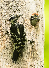 Female Downy Woodpecker_Male Chick (Thomas Muir) Tags: picoidespubescens woodcounty perrysburg ohio midwest bird birdwatching birding ash tree nest fledgling baby d850 nikon 600mm feeding chick northamerica animal wildlife forest cambridgeanalyticawhistleblower