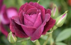 Like velvet (MJ Harbey) Tags: flower leaf rose rosa garden rhs chatsworth rhschatsworth derbyshire uk england nikon d3300 nikond3300 rosebuds