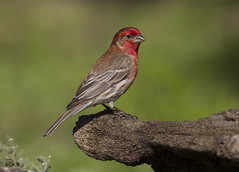 House Finch, male (AllHarts) Tags: malehousefinch backyardbirds memphistn naturesspirit thesunshinegroup challengeclubchampions naturescarousel ngc npc