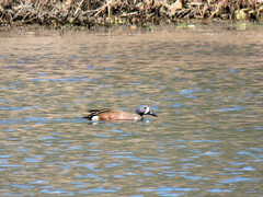 Blue-winged Teal (Dean Newhouse) Tags: bluewingedteal