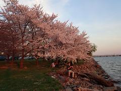 P3242940 (Dr. Fieldgood) Tags: washington dc national cherry blossom festival spring flowers mall