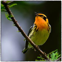 Blackburnian Warbler (RKop) Tags: d500 warblers nikkor600f4evr 14xtciii mageemarsh ohio springmigration raphaelkopanphotography warbler wildlife