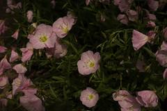 jdy143XX20180523a2242Bias-1.7 stops.jpg (rachelgreenbelt) Tags: ghigreenbelthomesinc oenotheraall usa oenotheraberlanderisiskiyoupink greenbelt ordermyrtales midatlanticregion ouryard rosids americas subfamilyonagreae northamerica maryland familyonagraceae eudicots magnoliophyta eveningprimrose floweringplants myrtales myrtalesorder oenothera onagraceae onagraceaefamily onagreae onagreaesubfamily spermatophytes suncup sundrop