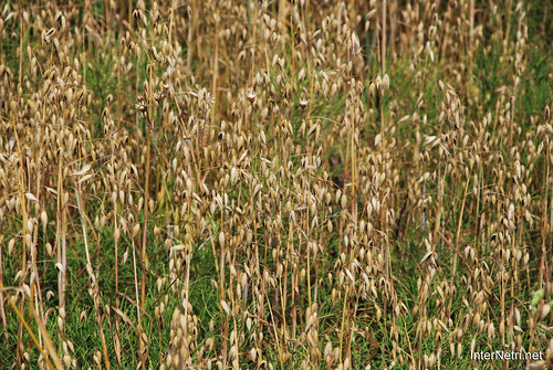 Пшениця, жито, овес InterNetri  Ukraine 043