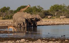 Gathering (Nanooki ʕ•́ᴥ•̀ʔっ) Tags: namibia etoshanationalpark evening waterhole wildlife nature elephant savannaafricanelephant giraffe rhinoceros hooklippedblackrhinoceros blacksmithlapwing bird redknobbedcoot capeturtledove impala africa