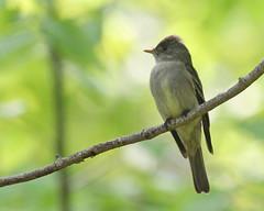 Eastern Phoebe at Kuser Natural Area (Tombo Pixels) Tags: bird highpoint180008 easternphoebe eastern phoebe highpoint highpointstatepark kusernaturalarea naturewalk2018 nj newjersey twb1
