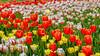 2018 Canadian Tulip Festival (jkowalski2) Tags: artistic closeup day fineart flowers imagetype macro nature outdoor photospecs seasons spring stockcategories time vegetation gardenplants plants